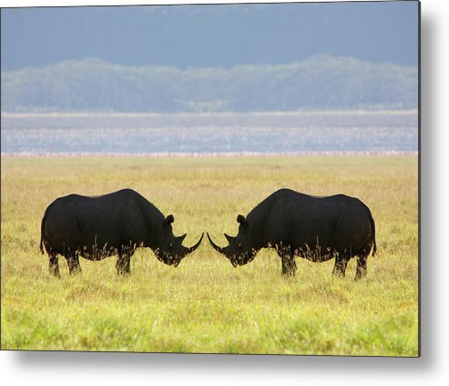 Animal Themes Metal Print featuring the photograph Two White Rhinoceros Face To Face On by Grant Faint