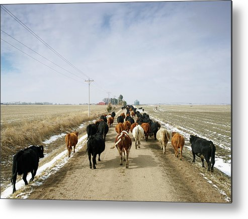 Cattle Drive Metal Print featuring the photograph Usa, Nebraska, Great Plains, Herd Of by John Kelly
