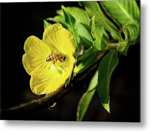 Bee Metal Print featuring the photograph Bee in Yellow Flower by Steve DaPonte