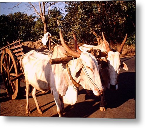 Oxen Metal Print featuring the photograph Oxcart, India by Barron Holland
