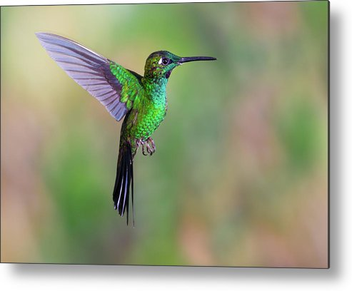 Green-crowned Brilliant Metal Print featuring the photograph Hummingbird , Green-crowned Brilliant by Kencanning