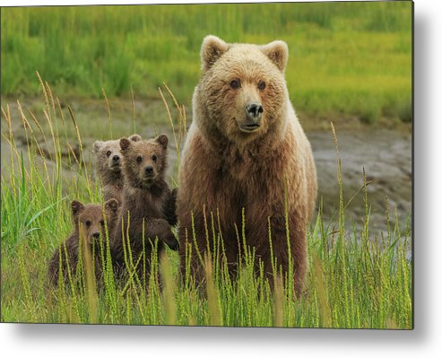 Brown Bear Metal Print featuring the photograph Brown Bear Sow And Cubs, Lake Clark by Mint Images/ Art Wolfe