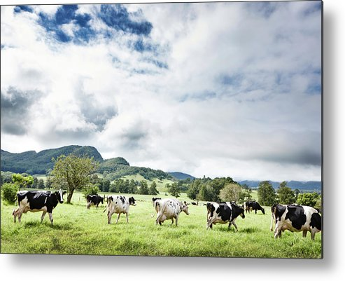 Domestic Animals Metal Print featuring the photograph Cows Walk In Beautiful Paddock by Stuart Miller