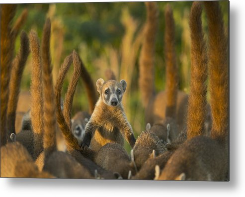 Kevin Schafer Metal Print featuring the photograph Cozumel Island Coati Cozumel Island by Kevin Schafer
