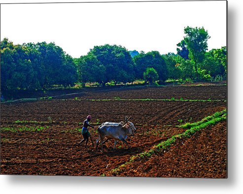 Working Animal Metal Print featuring the photograph Farmer with cow by Gopan G Nair