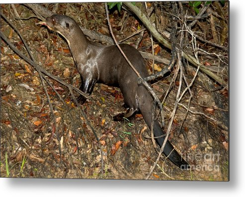 Giant River Otter Metal Print featuring the photograph Giant River Otter by Gregory G. Dimijian, M.D.