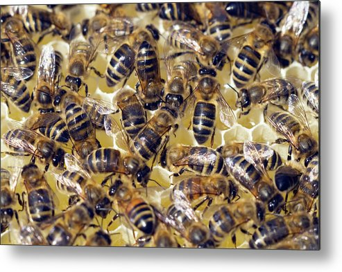 Apis Mellifera Metal Print featuring the photograph Honeybees On Honeycomb by Simon Fraser/science Photo Library