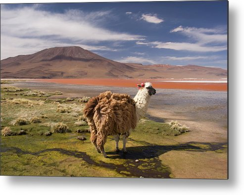 Scenics Metal Print featuring the photograph Laguna Colorado Lake With Llama by John Elk