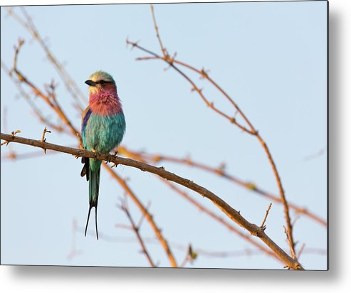 Tanzania Metal Print featuring the photograph Lilac Breasted Roller Perching On A by Claudia Uribe