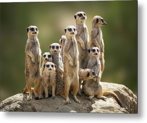 Scenics Metal Print featuring the photograph Meerkat Family On Lookout by Kristianbell