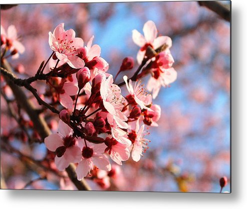 Cherry Blossom Metal Print featuring the photograph Pink Cherry Heaven by Candice Trimble
