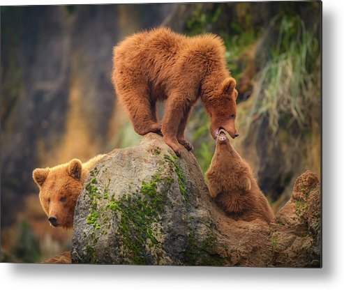 Bear Metal Print featuring the photograph Playing In The Heights by Sergio Saavedra Ruiz