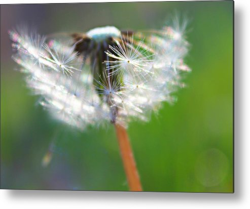Dandelion Metal Print featuring the photograph Whimsy Dandelion by Candice Trimble