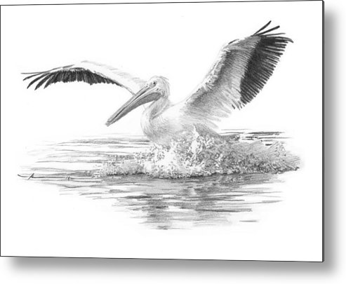 <a Href=http://miketheuer.com Target =_blank>www.miketheuer.com</a> Metal Print featuring the drawing White Pelican Pencil Portrait by Mike Theuer