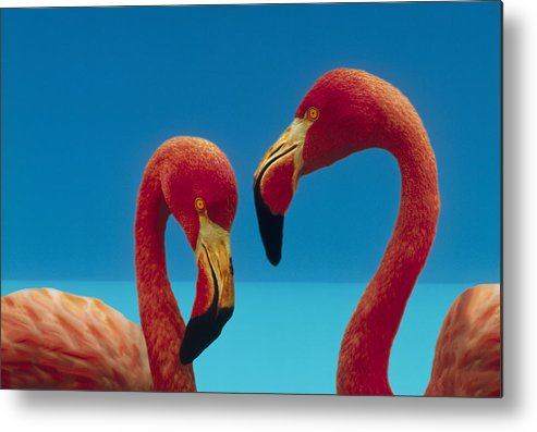 00172310 Metal Print featuring the photograph Greater Flamingo Courting Pair by Tim Fitzharris