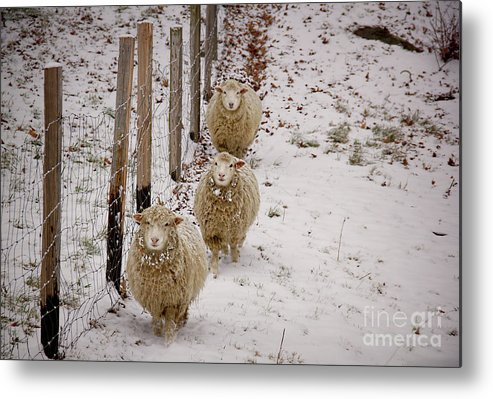 Sheep Metal Print featuring the photograph 3 Happy Sheep by Diana Nault