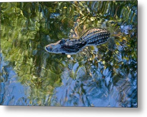 Alligator Metal Print featuring the photograph Alligator stalking by Douglas Barnett