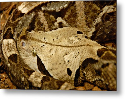 Snake Metal Print featuring the photograph Can you see me now. by Jacqueline Milner