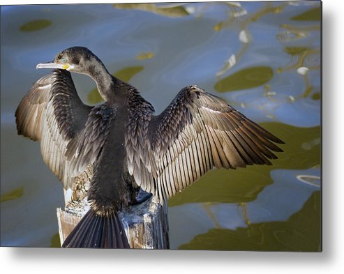 Neotropic Cormorant Metal Print featuring the photograph Cormorant looking back by Robert Brown