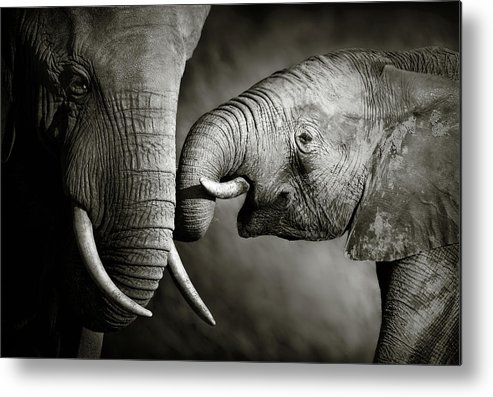 Elephant; Interact; Touch; Gently; Trunk; Young; Large; Small; Big; Tusk; Together; Togetherness; Passionate; Affectionate; Behavior; Art; Artistic; Black; White; B&w; Monochrome; Image; African; Animal; Wildlife; Wild; Mammal; Animal; Two; Moody; Outdoor; Nature; Africa; Nobody; Photograph; Addo; National; Park; Loxodonta; Africana; Muddy; Caring; Passion; Affection; Show; Display; Reach Metal Print featuring the photograph Elephant affection by Johan Swanepoel