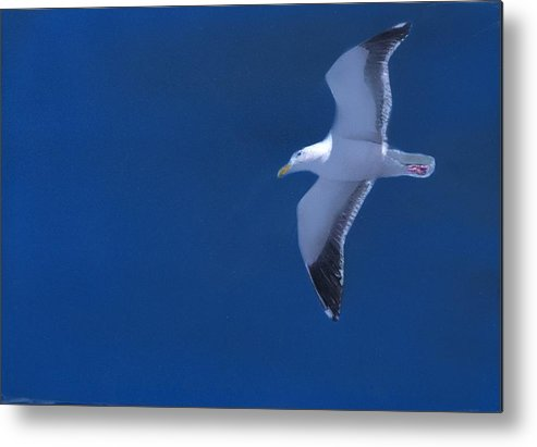 Gull Metal Print featuring the painting Gull by Charles Parks