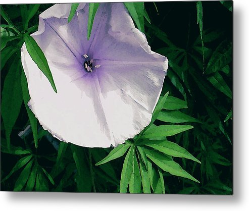 James Temple Metal Print featuring the photograph Hawaiian Morning Glory by James Temple