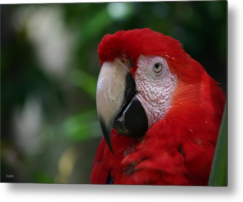 Bird Metal Print featuring the photograph Old Red Parrot by Ruben Flanagan