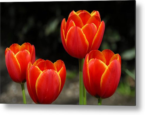 Tulips Metal Print featuring the photograph Pacific Northwest Tulips 5 by Keith Gondron