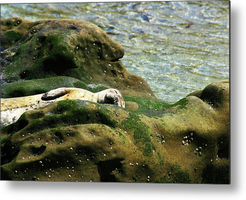 Seal Metal Print featuring the photograph Seal On The Rocks by Anthony Jones