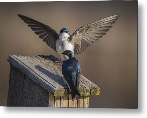 Tree Swallows  by Mircea Costina Photography