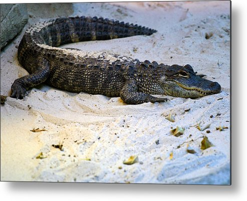 Florida Metal Print featuring the photograph Gator in Sand by Anthony Jones