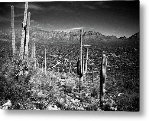 Saguaro Cactus Metal Print featuring the photograph Arizona, Tucson, Saguaro Np, Brown by James Denk