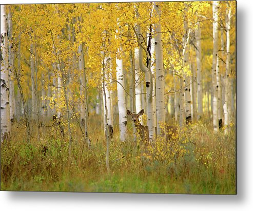 Vertebrate Metal Print featuring the photograph Autumn In Uinta National Forest. A Deer by Mint Images - David Schultz
