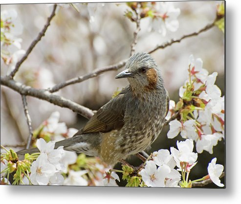 Alertness Metal Print featuring the photograph Bird Perched Among Cherry Blossoms by Philippe Widling / Design Pics