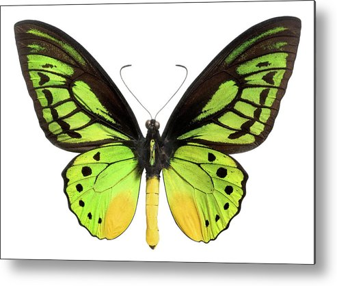 White Background Metal Print featuring the photograph Butterfly Lepidoptera With Green, Black by Flamingpumpkin