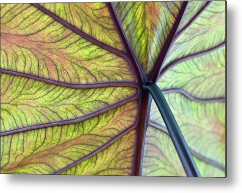 Voodoo Doll Metal Print featuring the photograph Close Up Of Colocasia Esculenta Leaf by Deb Casso