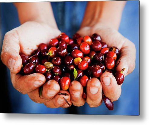 Mature Adult Metal Print featuring the photograph Close Up Of Hands Holding Coffee Beans by Pixelchrome Inc