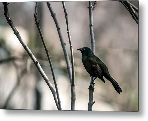 Animal Themes Metal Print featuring the photograph Common Grackle by By Ken Ilio