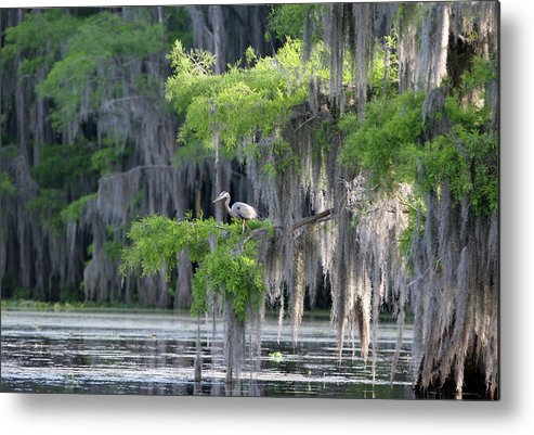 Scenics Metal Print featuring the photograph Cypress Swamp With Great Blue Heron by Jlfcapture
