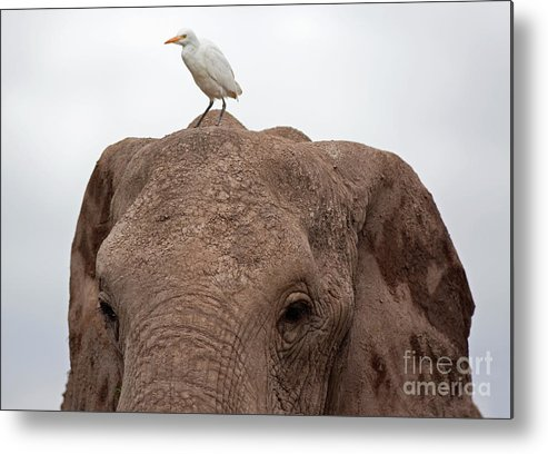 Kenya Metal Print featuring the photograph Elephant And Great Egret by Wldavies
