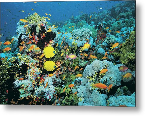 Underwater Metal Print featuring the photograph Fish On Shark Reef, Egypt by Digital Vision.