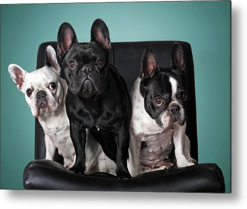 Pets Metal Print featuring the photograph French Bulldogs by Retales Botijero