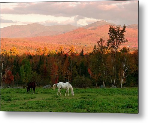 Horse Metal Print featuring the photograph Horses Grazing During The New England by Myloupe/uig