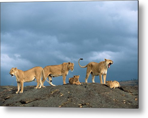 Kenya Metal Print featuring the photograph Lionesses And Cubs Panthera Leo On by James Warwick