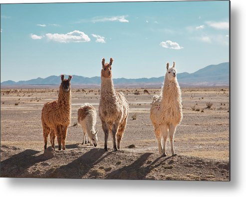 Shadow Metal Print featuring the photograph Llamas Posing In High Desert by Kathrin Ziegler