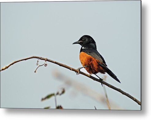 Songbird Metal Print featuring the photograph Mocking Cliff-chat Perched On Tree by Sami Sarkis