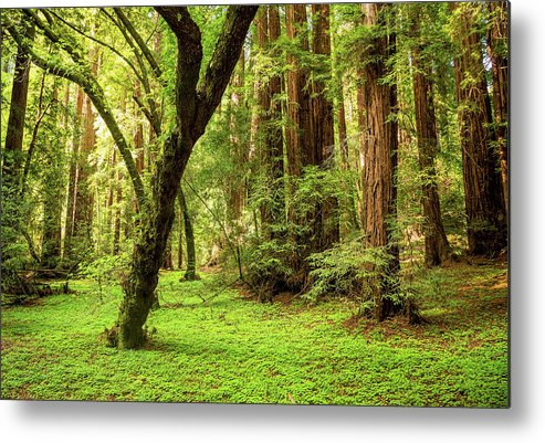 Tranquility Metal Print featuring the photograph Muir Woods Forest by By Ryan Fernandez