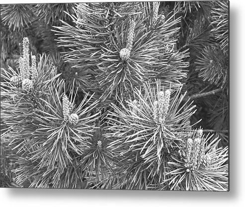 Needle Metal Print featuring the photograph Pine Cones And Needles, Close-up B&w by George Marks