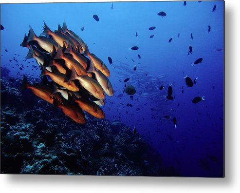 Underwater Metal Print featuring the photograph Reef Rush Hour, Snappers And Barracudas by Tammy616