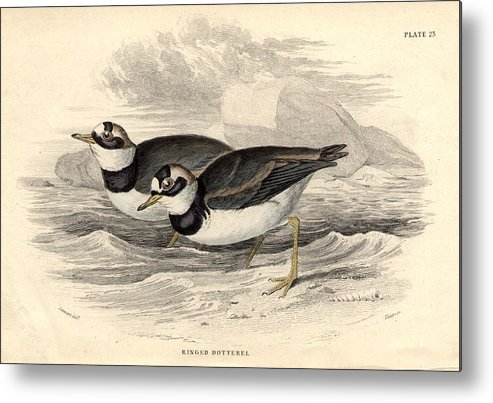 Horizontal Metal Print featuring the digital art Ringed Dotterel by Hulton Archive